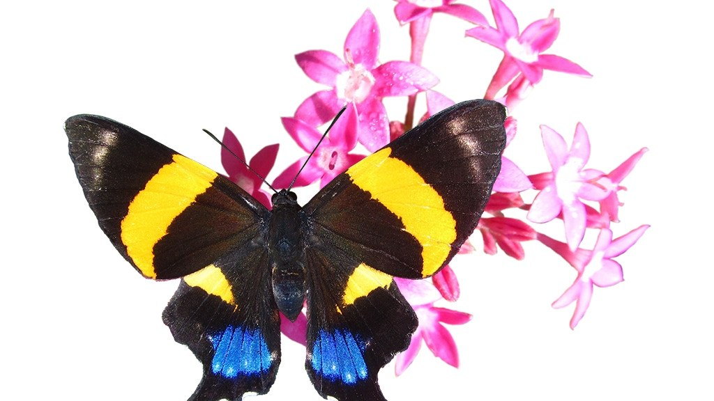 Pura Mariposa: 88 Butterflies of Southern Costa Rica project video thumbnail