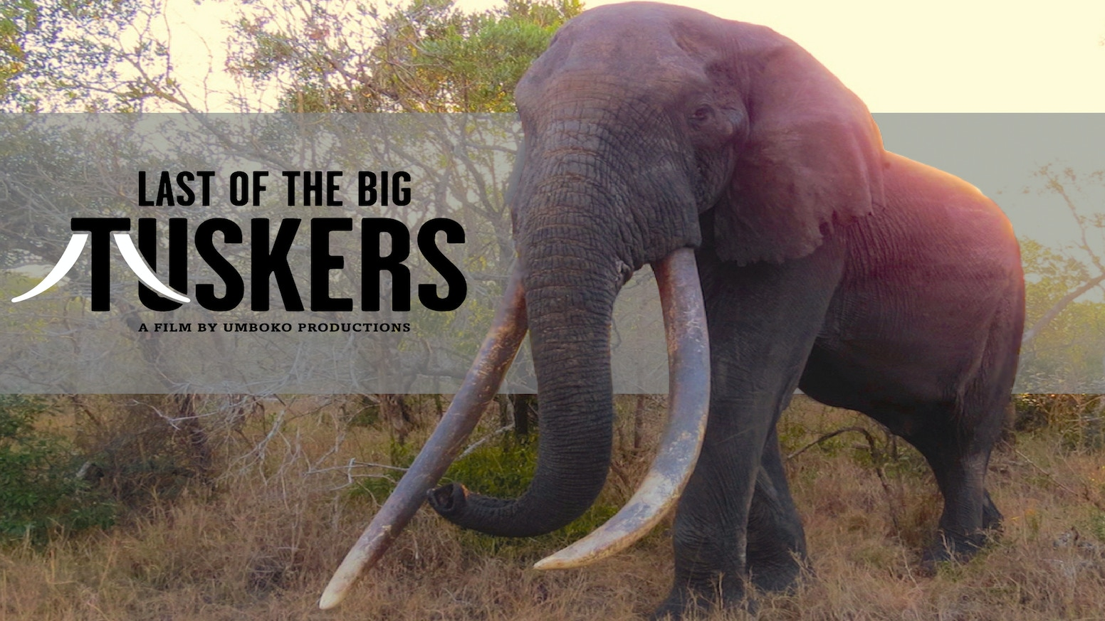 A documentary film about the largest elephants on earth and what is being done to ensure their survival.