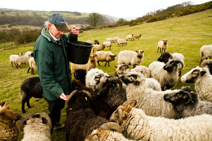 Izzy Lane Shetland Sheep
