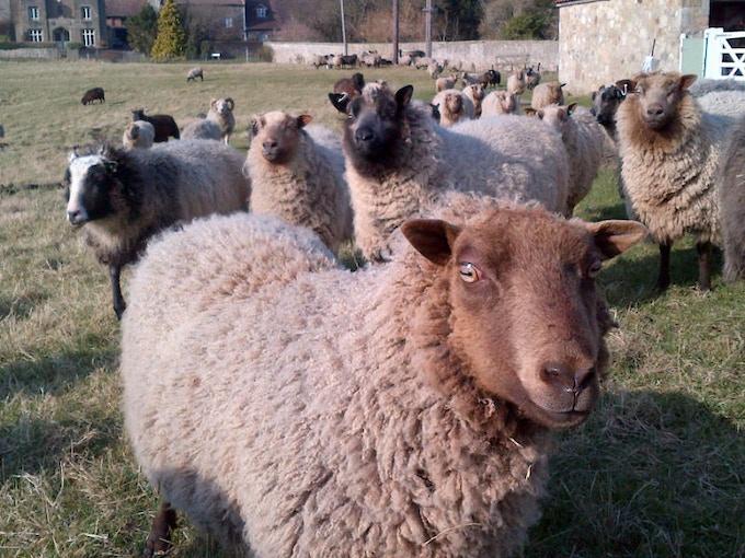 Some of the Izzy Lane Flock