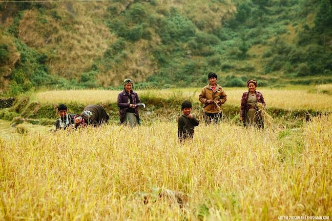 Farmers harvesting rice in Rasuwa.