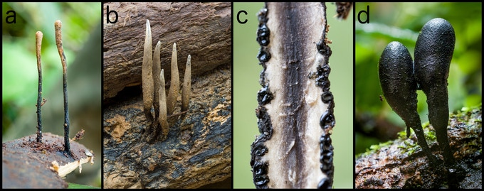 Some diversity of Xylaria: a, Xylaria on bamboo, likely a new species to science; b, Xylaria telfairii; c, close up of a cross-section through Xylaria intracolorata; and d, Xylaria schweinitzii. Photos by Danny Newman.