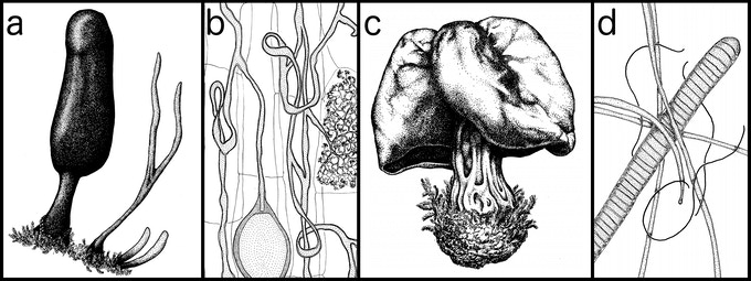 A sample of my illustrations: a, Xylaria schweinitzii, for this project; b, arbuscular mycorrhizae in a plant root; c, Helvella vespertina, the Oregon fluted elfin saddle; and c, Oscillatoria prisceps & O. tenebriformis, thermotolerant cyanobacteria.