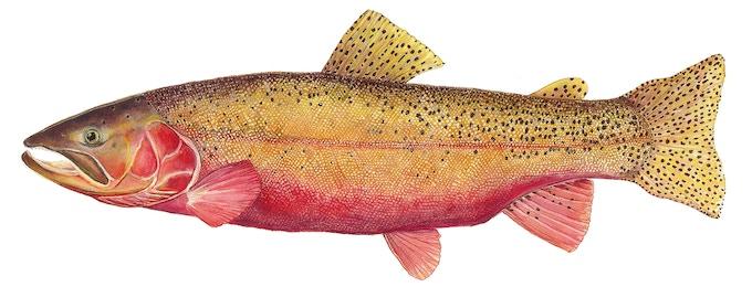Karen's Colorado River Cutthroat Trout Scientific Illustration Chosen by Karen's Fans for the New Angler's Pint Design