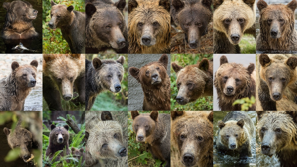 Gary is a Grizzly Bear project video thumbnail