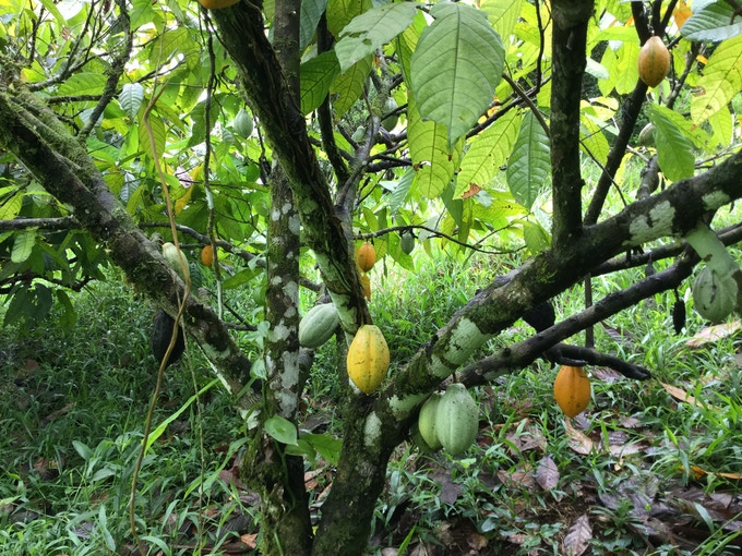 A very healthy orchard where cacao is grown among other vegetation in the rainforest