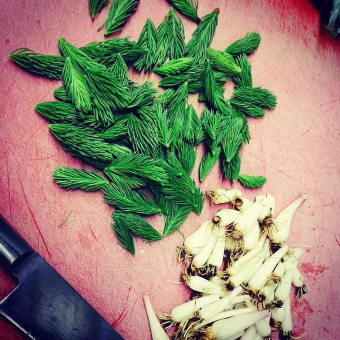 Spring Spruce Tips and Wild Ramps