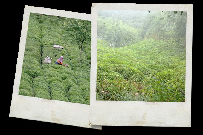 Black Sea Tea Farms