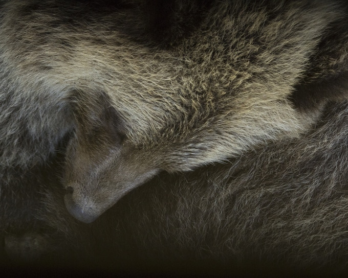 A bear and her cubs sleeping after nursing just a few meters away