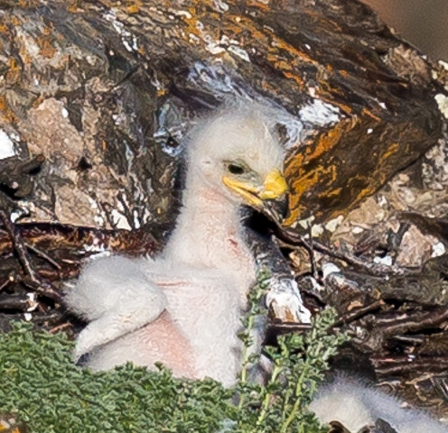Golden eagle chick in a nest in the Altai Mountains