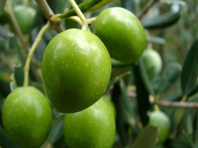 The Mighty Oblica Olive