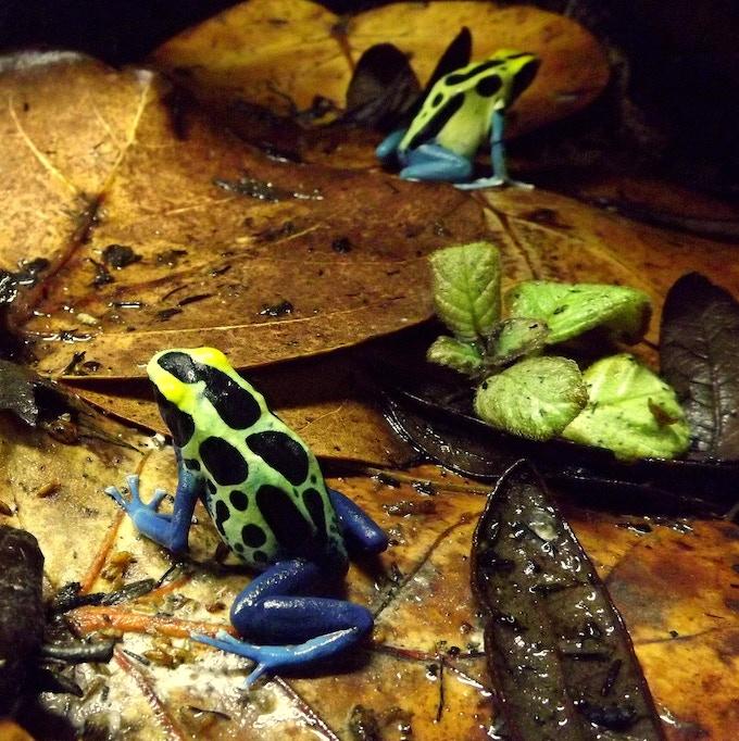 The dyeing dart frog (Dendrobates tinctorius)