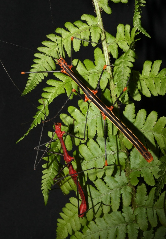 A pair of Oreophoetes peruana stick insects (female is black and white with, the male is red and black)