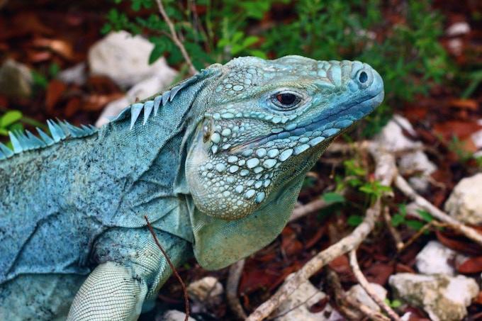 The blue iguana (Cyclura lewisi)