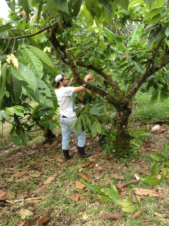 Working in the Cacao orchard at Finca Luna Nueva
