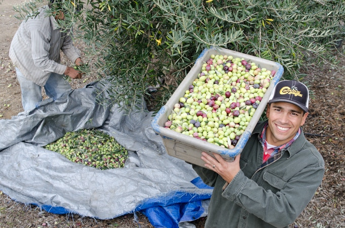 Harvesting our Award Winning Ascolano Variety Olives