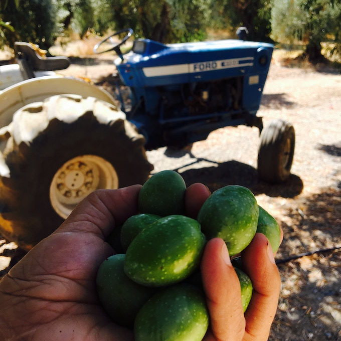 Sevillano Variety Olives on the Family Farm
