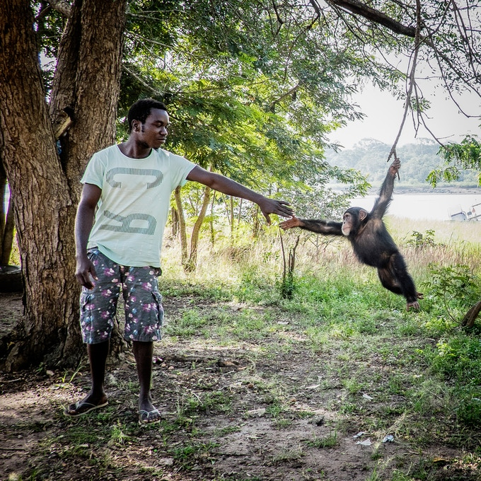 "10"" print option 2: Bubu, an orphan chimpanzee found alone in the bush as a baby, swings from a tree branch with the help of a park ranger in Buba, near the Contanhez National Park, in Guinea Bissau. Photo by Jane Hahn @janehahn"