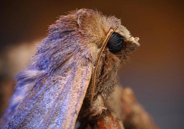 A moth photographed by David Robson using his Adaptalux
