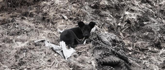 Dog resting on bagasso