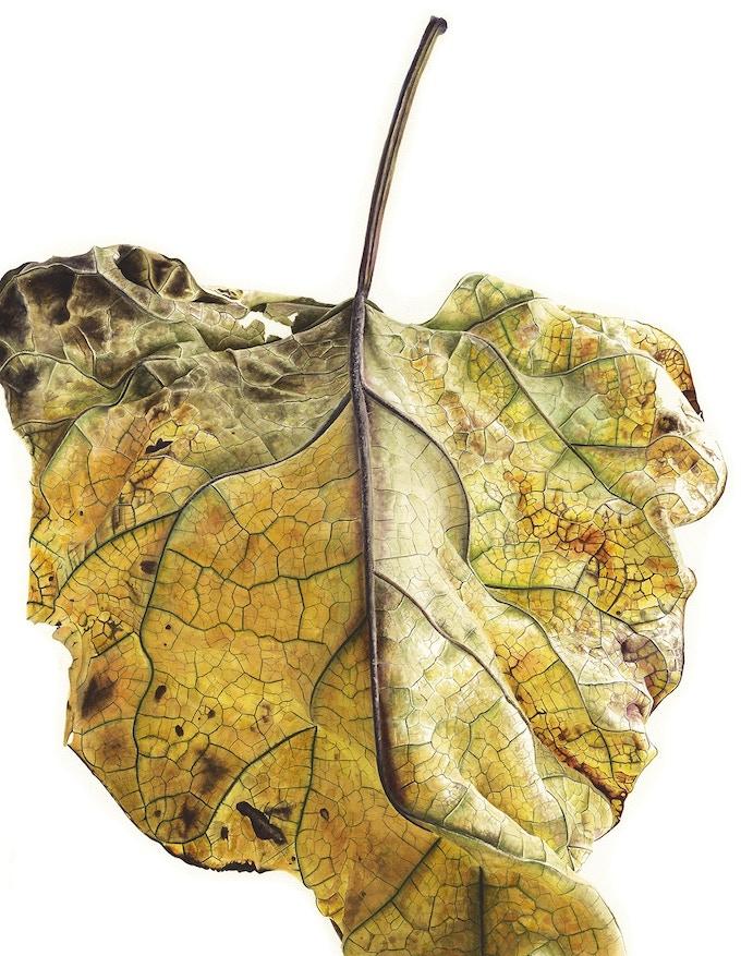 Leaf 100820151542, Yellow Catalpa (Catalpa bignonioides), 76 x 56cm, Watercolour on Paper