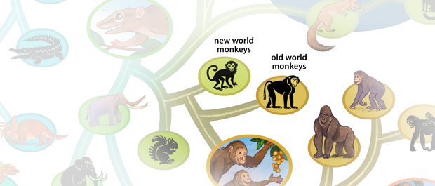 """The group """"monkeys"""" is not a clade because it is not one complete branch."""
