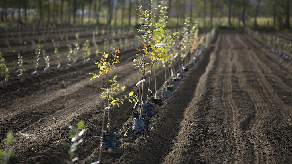 1000 äppelträd på Röbäcksdalen project video thumbnail