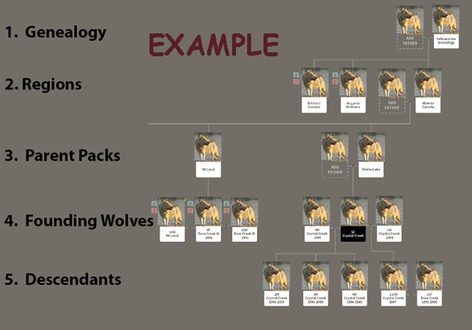 Example Design of Genealogy of Yellowstone Wolves