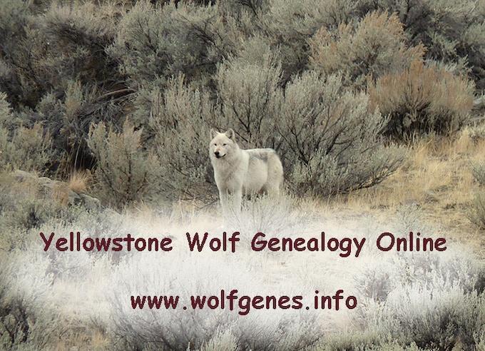 Yellowstone Wolf Genealogy Online