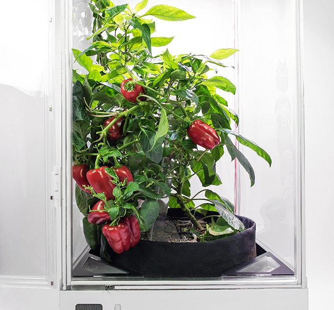 Bell Peppers plant grown in our earlier prototype