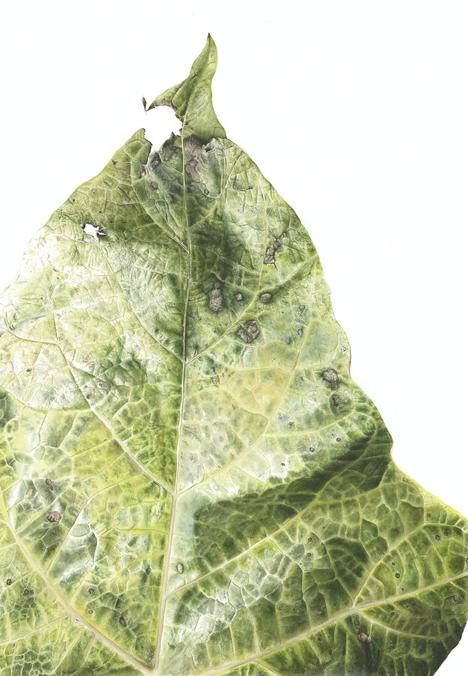 Leaf 200720140950, Brick Lane Catalpa (Catalpa bignoinoides), 76 x 56cm, Watercolour on paper