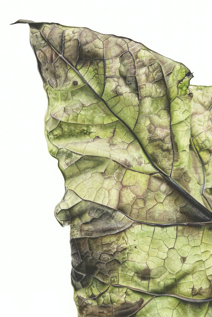 Leaf 300720150946, Green Catalpa (Catalpa bignonioides), 76 x 56 cm, Watercolour on Paper