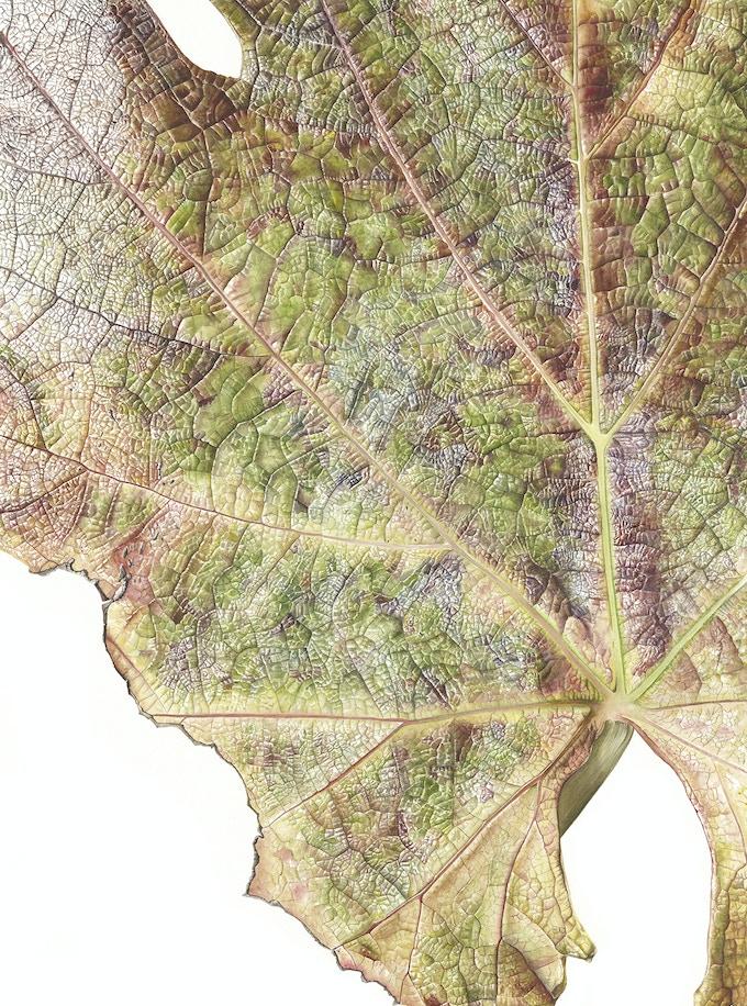 Leaf 041120151204, Grape Vine (Vitis vinifera), 76 x 56cm, Watercolour on paper