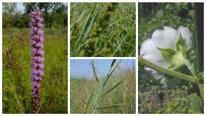 Marsh blazingstar (left), brown fox sedge (upper middle), prairie cordgrass (bottom middle), Kankakee mallow (right)