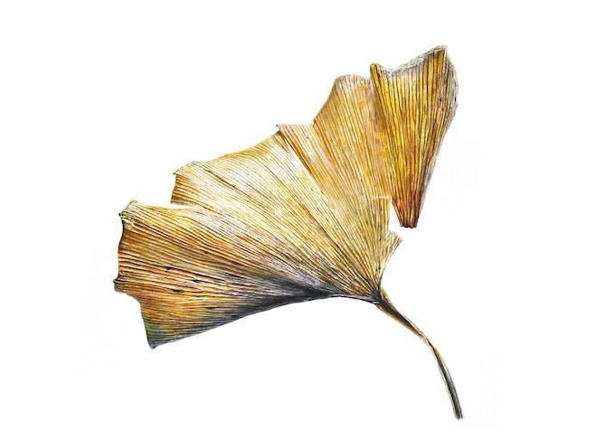 Leaf 250220162005, Ginkgo1 (Ginkgo biloba), 33 x 55cm, Watercolour on paper