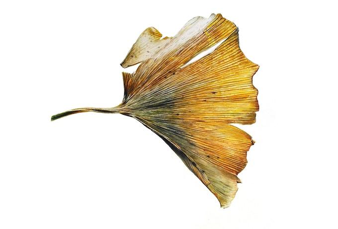 Leaf 250220162008, Ginkgo2 (Ginkgo biloba), 33 x 55 cm, Watercolour on paper