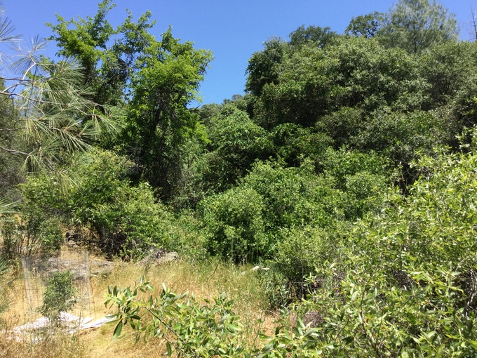 One of many wild food forests (mulberries, grapes, figs, blackberries..)