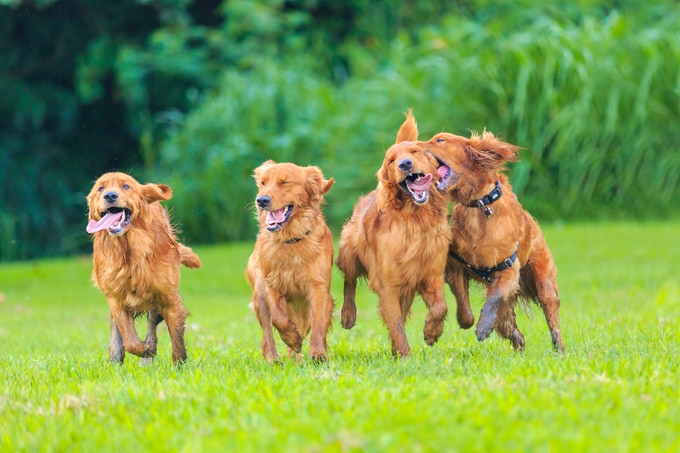 Some of the Goldens having fun after their shoot