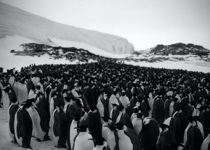 Image 2 - Brian Cliffors 'penguin colony' Available as medium size salt prints 24cm x 17 cm
