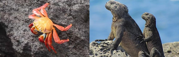 Red rock crabs and marine iguanas date back millions of years, and are two of many species found only on the Galapagos Islands (Right: Marine Iguanas; image by Robert Luecking)