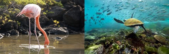 L: flamingo foraging for food; R: the oceans, teeming with life; BELOW: sea lions, a giant tortoise, frigatebirds