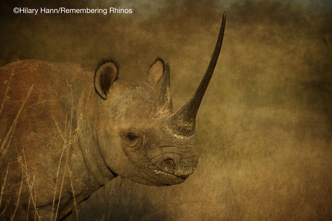 Black rhino, donated by visual artist Hilary Hann