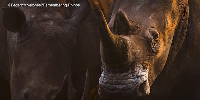 White rhino, image donated by Federico Veronesi