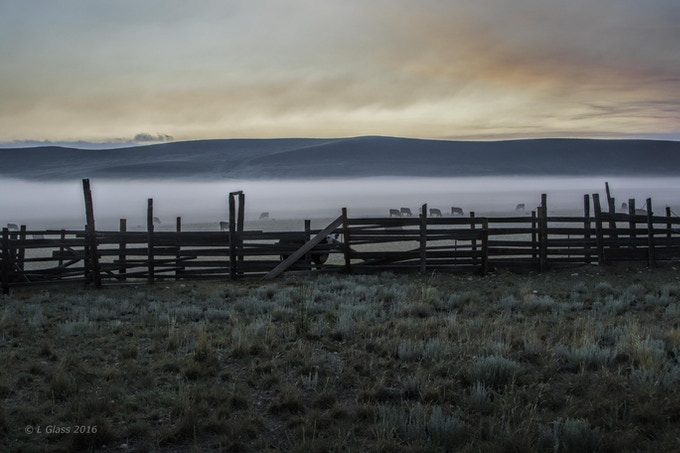 Cattle graze in the dawn mist. Photo by Larry Glass