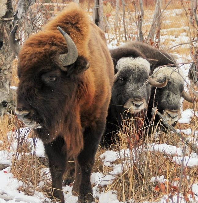 Bison and musk ox at the Pleistocene Park