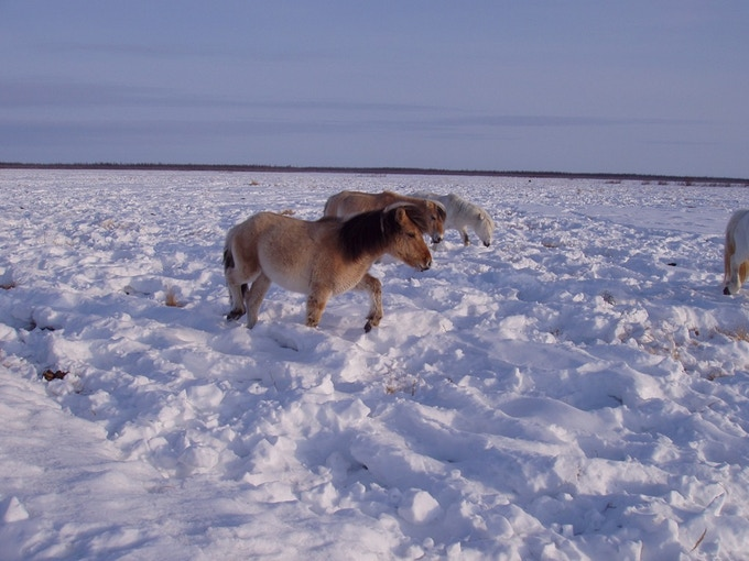 This shows how animals trample snow and reduce its insulating value, making the soil colder