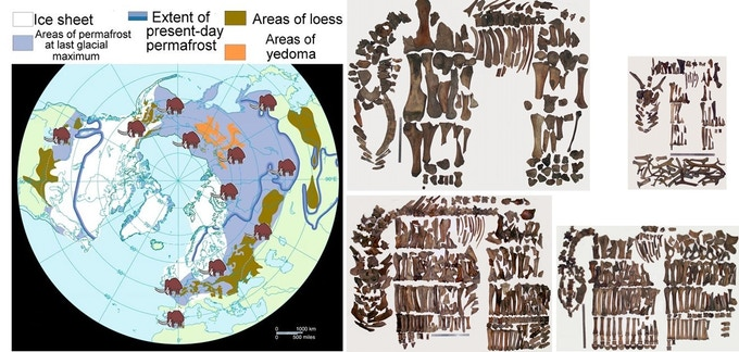 Being the world biggest biome, mammoth steppe was as productive as the modern African savannah. These remains we collected on 1 hectare of eroded permafrost. Almost 30 big herbivores were roaming on each square kilometer of these endless pastures.