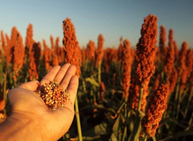 Sorghum Stalks and Grain