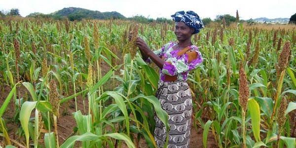 Kenyan Woman Tends her Sorghum Fields