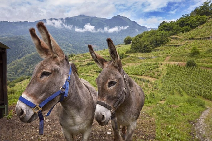 In our photo shoot with Mick Rock, we came across these lovely donkeys at the remote vineyard in Cevins, revived by Domaine des Ardoisières in Savoie (IGP des Allobrogues).